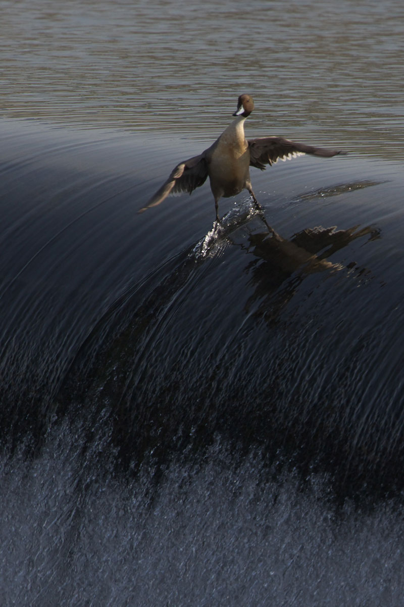 surding-duck Photograph via ubomw on Redditcoolest duck ever